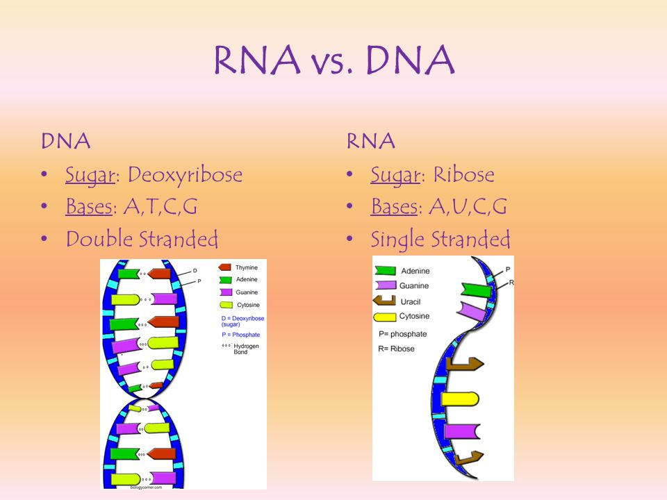 RNA vs. DNA DNA RNA Sugar: Deoxyribose Bases: A,T,C,G Double Stranded
