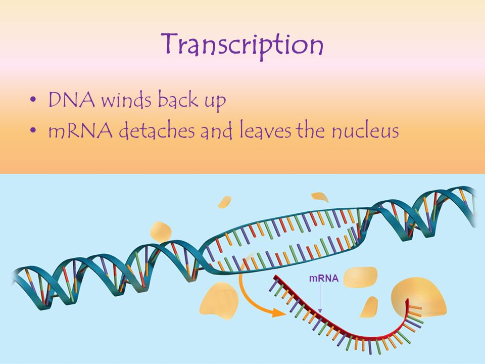 Transcription DNA winds back up mRNA detaches and leaves the nucleus