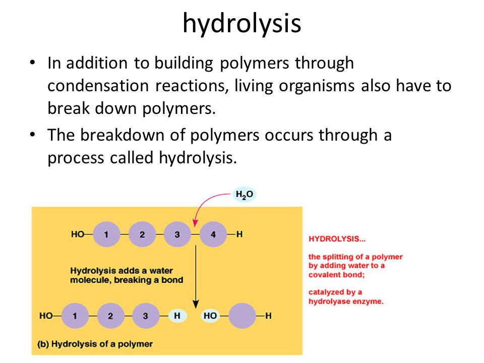 hydrolysis In addition to building polymers through condensation reactions, living organisms also have to break down polymers.