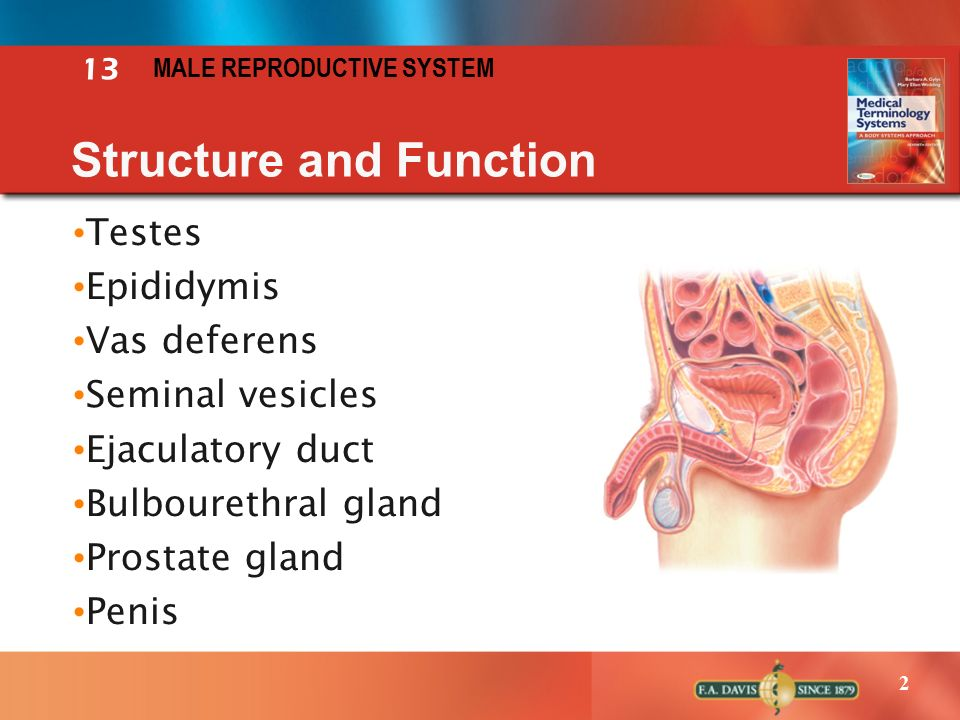 The Male Reproductive System Functions Definition Clamdrainfo