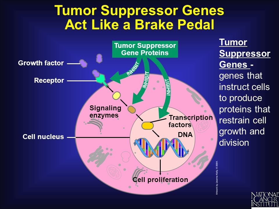 Tumor Suppressor Genes Act Like a Brake Pedal