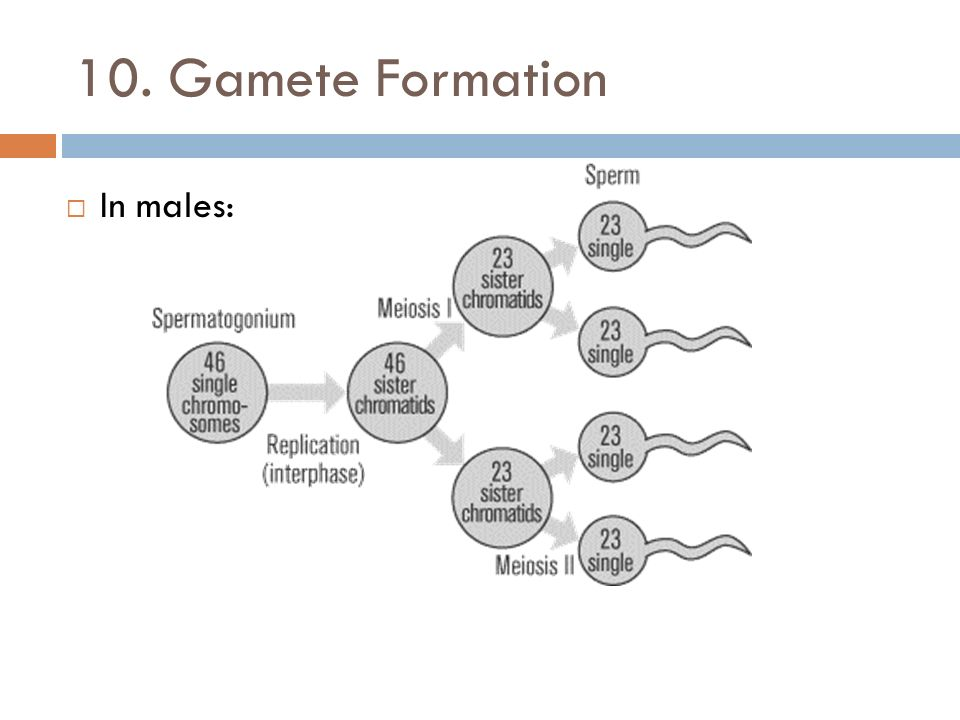 gamete formation Obviously males and females have different gametes, but are the differences first thing is male gametes are called sperm and female gametes.