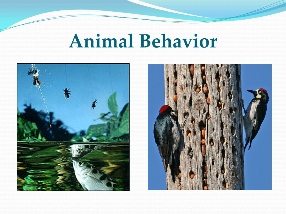 Animal Behavior Archer fish and acorn woodpeckers