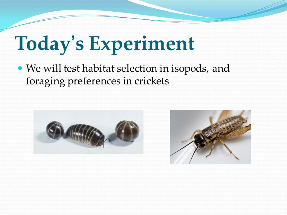 Today's Experiment We will test habitat selection in isopods, and foraging preferences in crickets