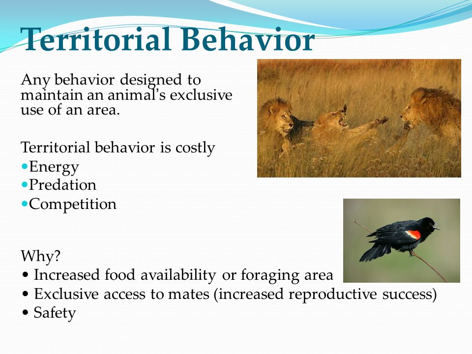 Territorial Behavior Any behavior designed to maintain an animal's exclusive use of an area. Territorial behavior is costly.