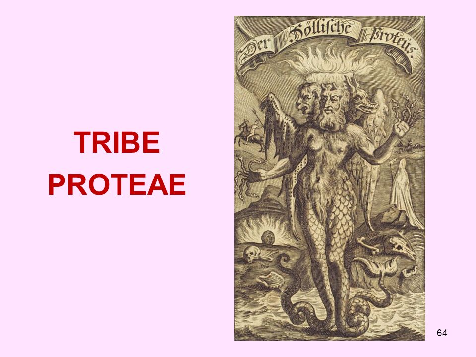 TRIBE PROTEAE .