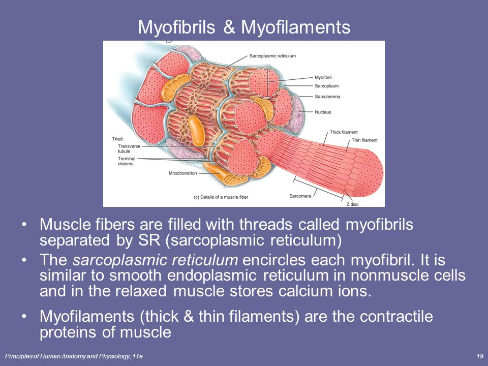 muscular system muscle metabolism