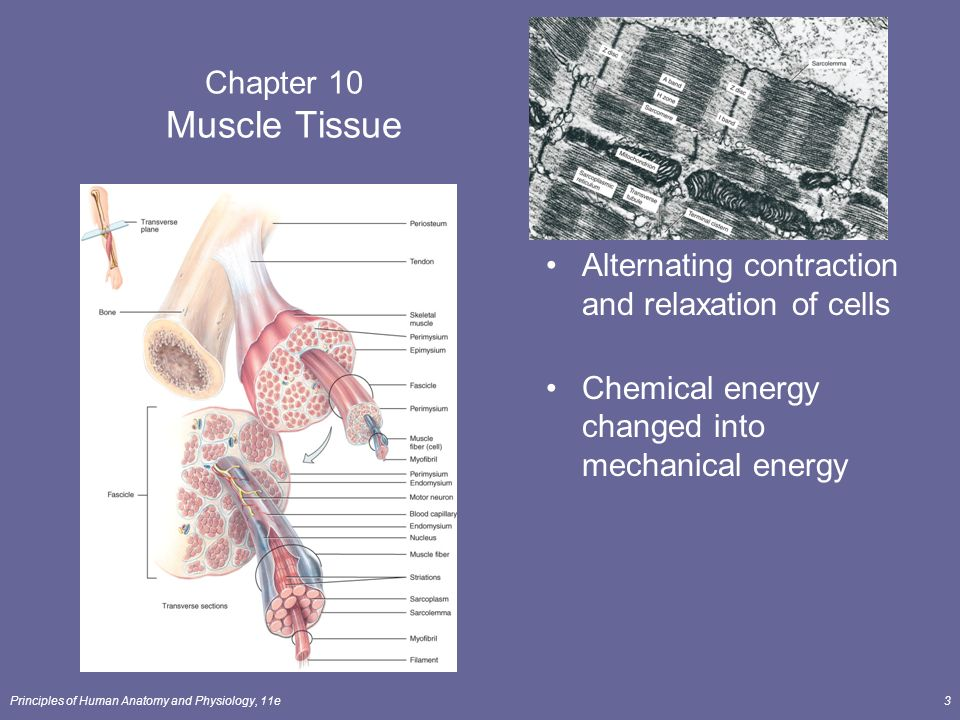 ch 10 muscle tissue Chapter 6: the muscular system 1 chapter 6: types of muscle tissue, and indicate where they are found in the body define muscular system.