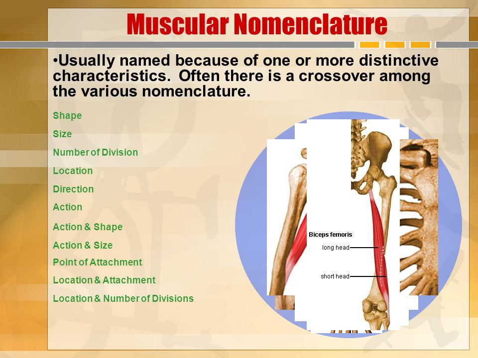 neuromuscular fundamentals - ppt video online download, Muscles