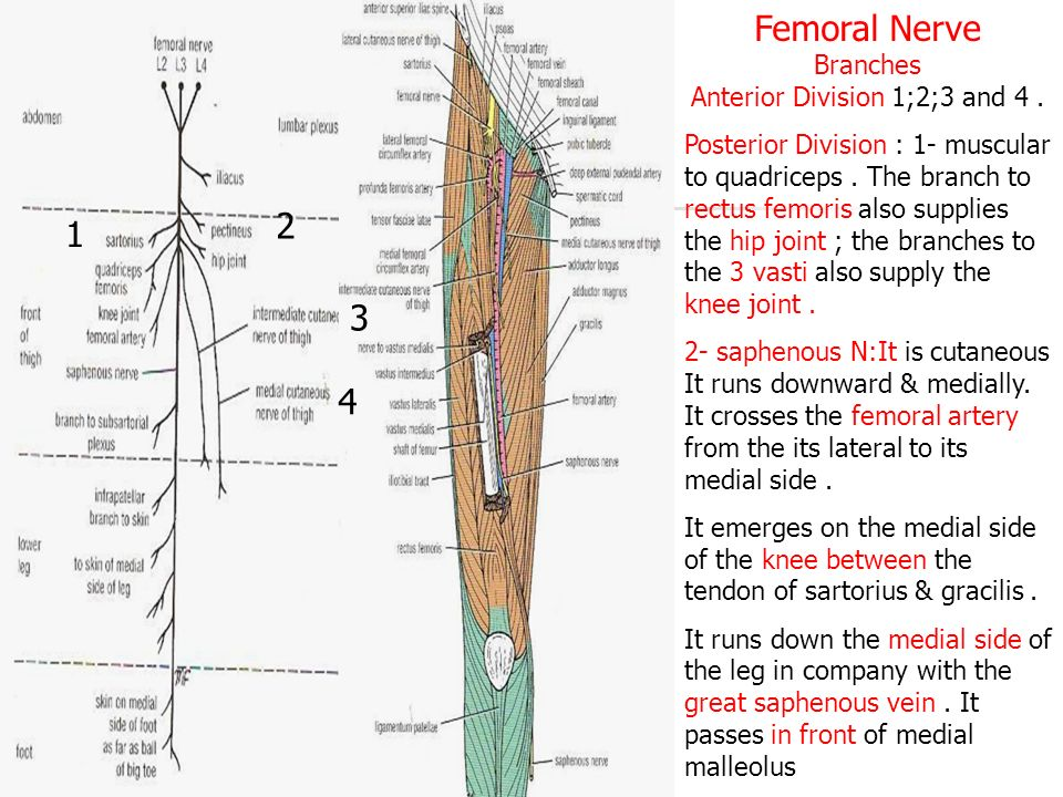 skin of the thigh cutaneous nerves - ppt video online download, Muscles