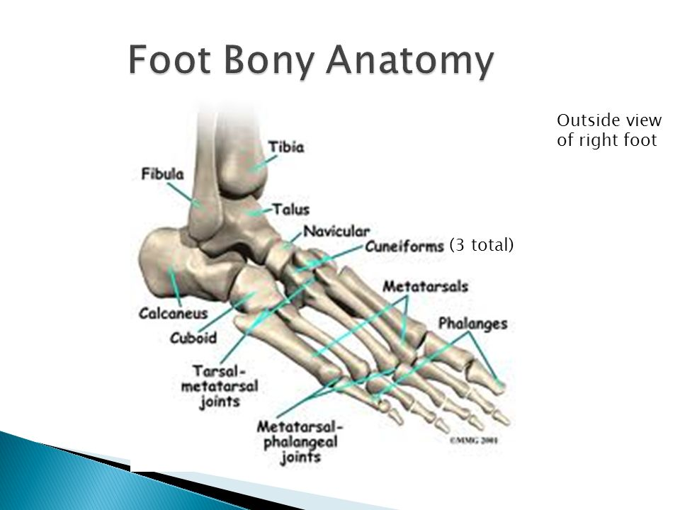 Anatomy of the bottom of the foot
