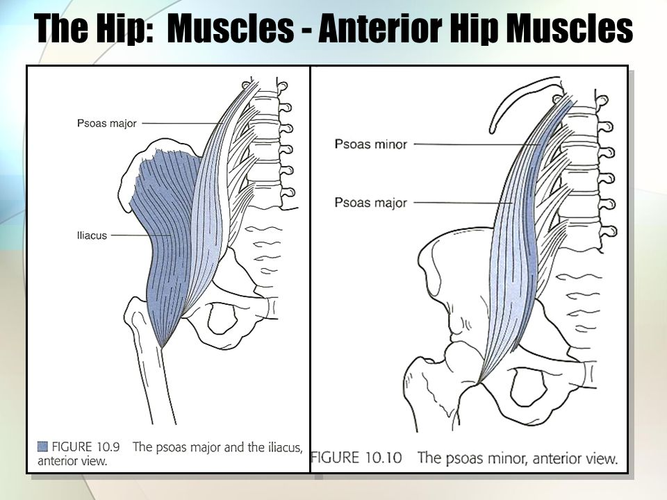 The Hip: Bones through Muscles - ppt download