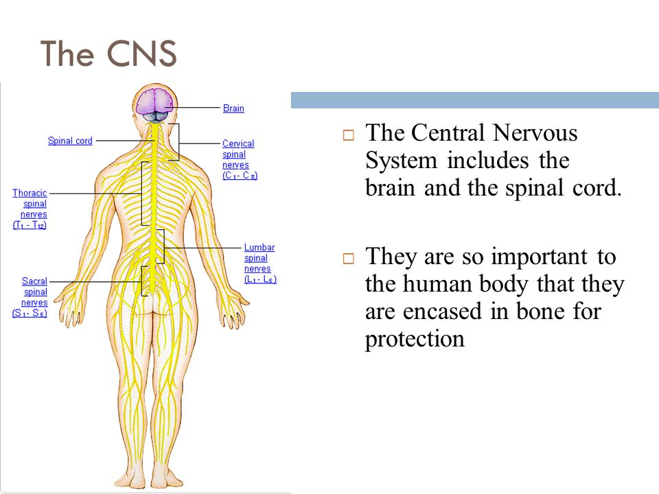 an analysis of the importance of neurons for the nervous system The nervous system uses electrical and chemical means to help all parts of the body to communicate with each other the brain and spinal cord make up the central nervous system nerves everywhere else in the body are part of the peripheral nervous system the nervous system helps all the parts of.