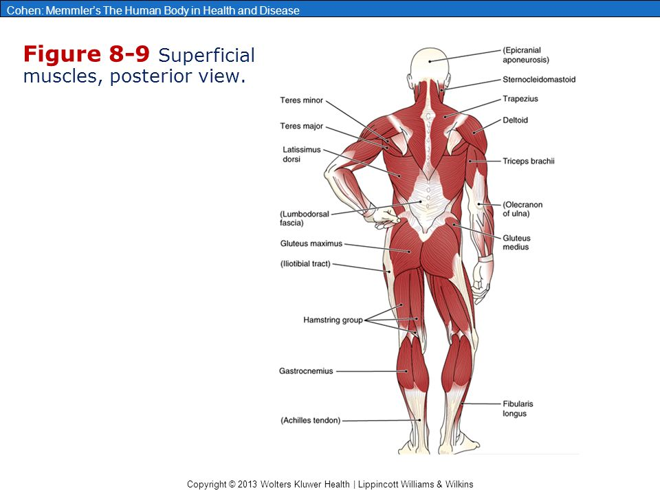 Chapter 8 The Muscular System Ppt Download