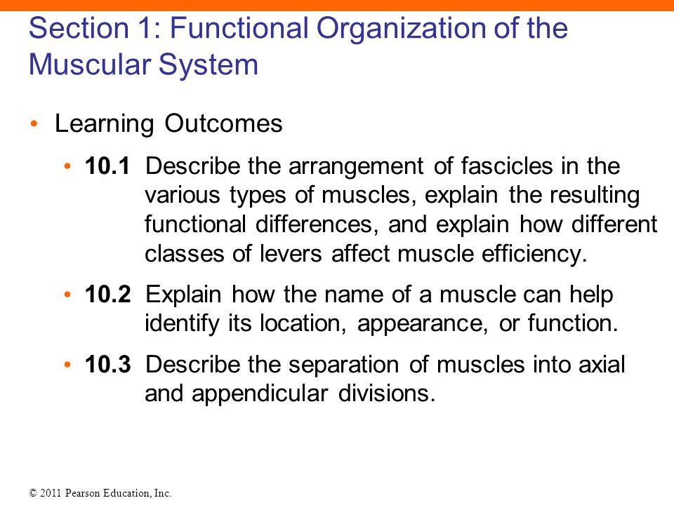Describe Muscular System Craftbrewswagfo