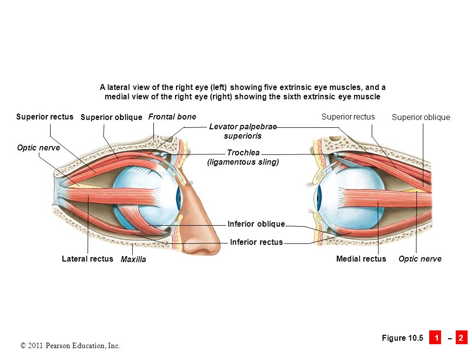 Exelent Eye Muscle Diagram Component - Human Anatomy Images ...