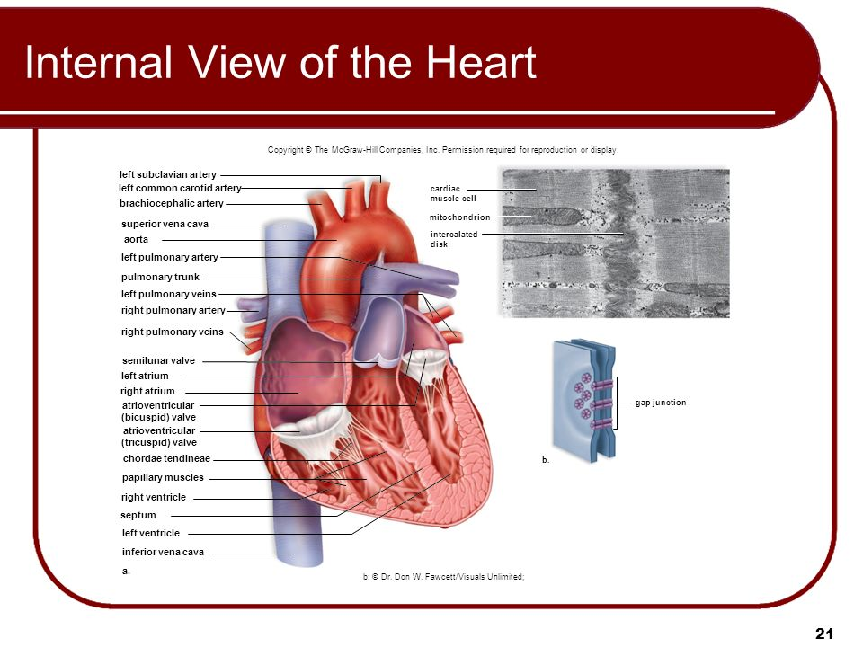 Biology 9th ed sylvia mader ppt video online download internal view of the heart ccuart Image collections