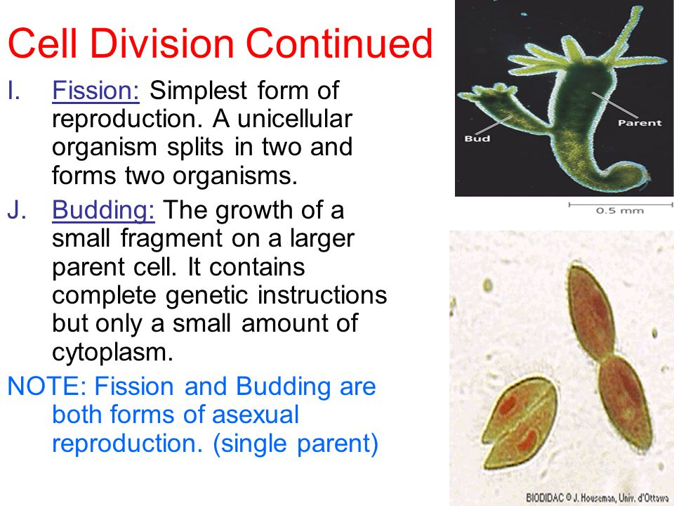 Cell division used for asexual reproduction by unicellular organisms images 32