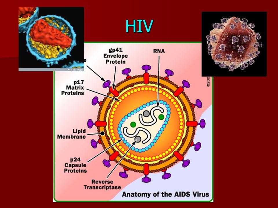Old Fashioned Anatomy Of Aids Virus Elaboration - Anatomy And ...
