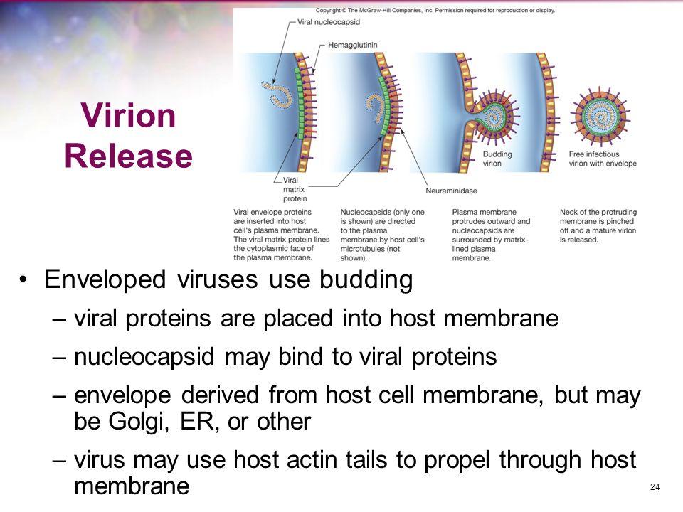 Virion Release Enveloped viruses use budding