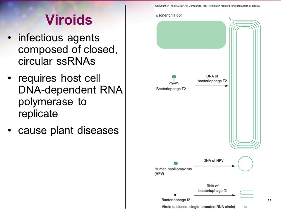 Viroids infectious agents composed of closed, circular ssRNAs