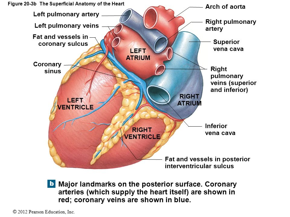 Unique Heart Anatomy Flash Cards Motif - Anatomy And Physiology ...