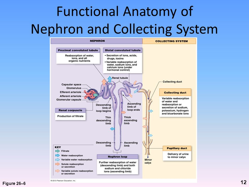 Functional Anatomy of Nephron and Collecting System