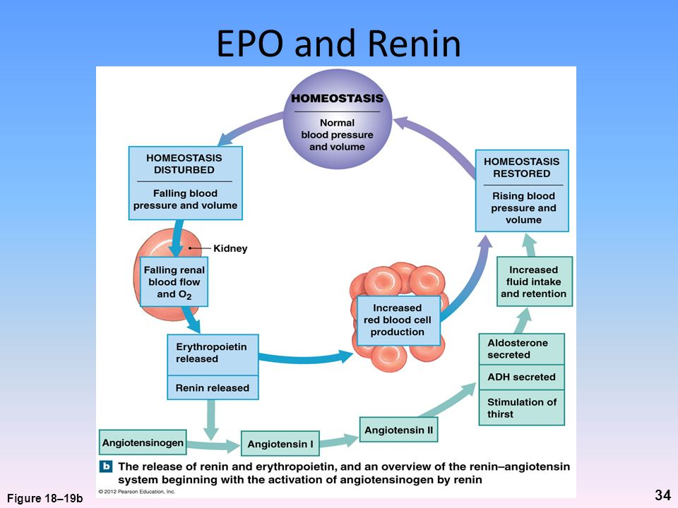 EPO and Renin Figure 18–19b