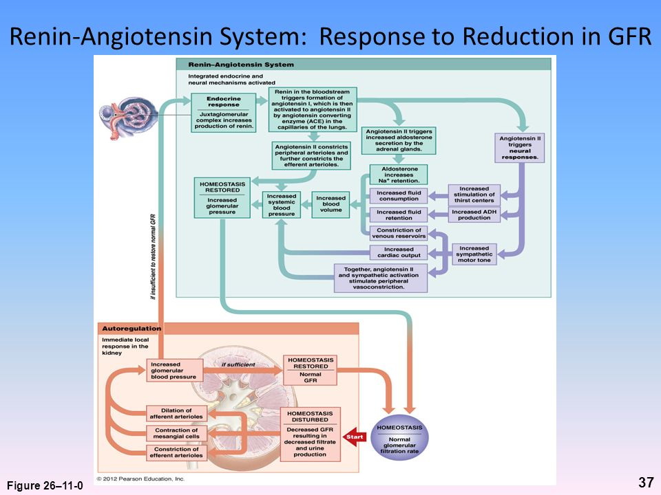 Renin-Angiotensin System: Response to Reduction in GFR