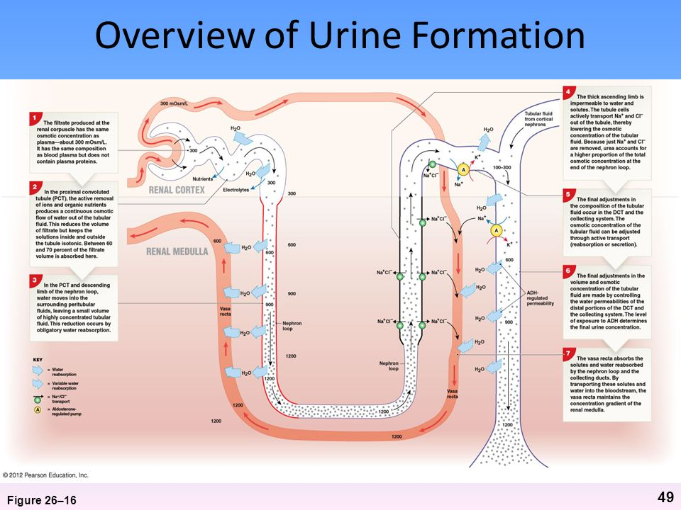 Overview of Urine Formation