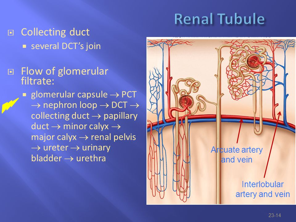 the urinary system functions of urinary system anatomy of kidney
