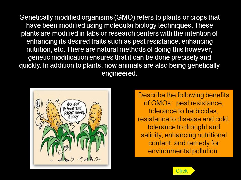 Genetically modified organisms (GMO) refers to plants or crops that have been modified using molecular biology techniques. These plants are modified in labs or research centers with the intention of enhancing its desired traits such as pest resistance, enhancing nutrition, etc. There are natural methods of doing this however; genetic modification ensures that it can be done precisely and quickly. In addition to plants, now animals are also being genetically engineered.