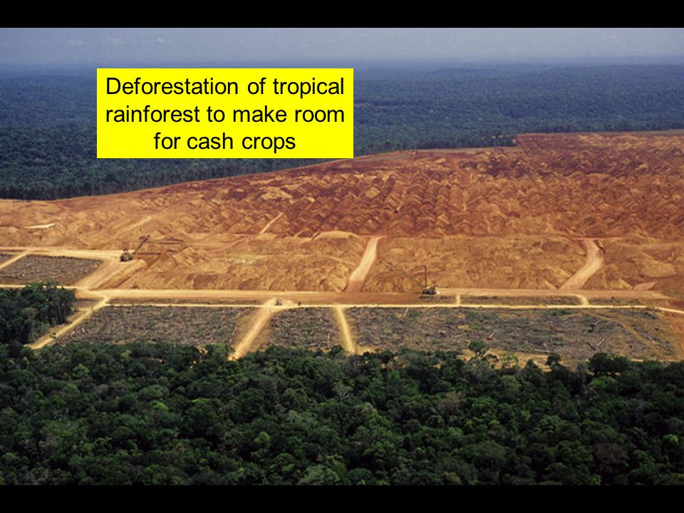 Deforestation of tropical rainforest to make room for cash crops