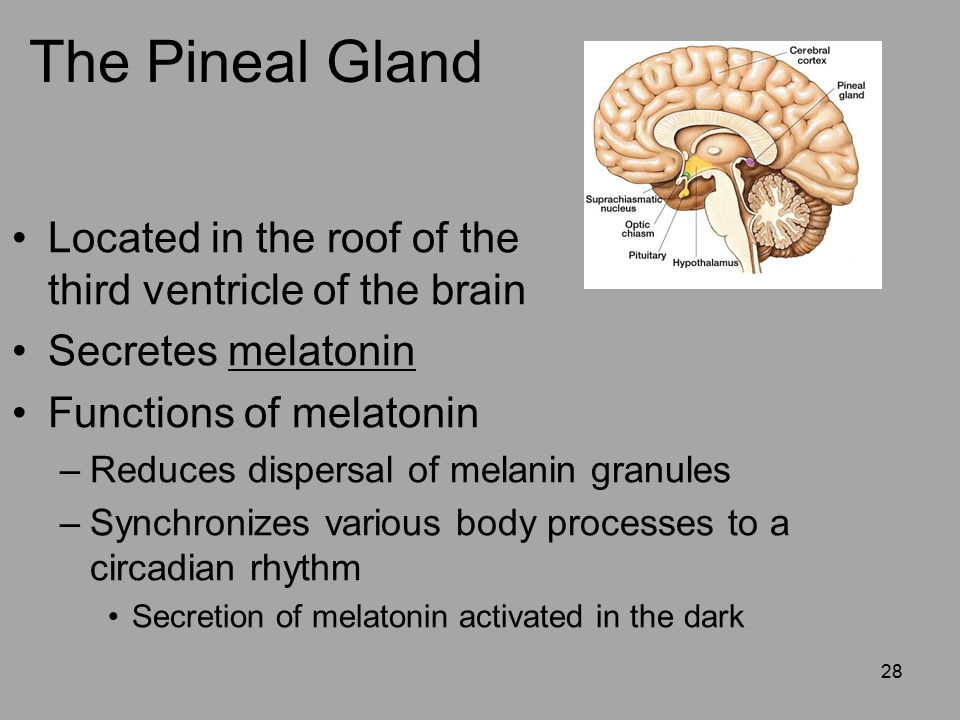 an analysis of the brain melatonin and the pineal gland The pineal gland and rhythmic melatonin production  role of melatonin in the  regulation of circadian rhythms, is that, like humans, this species is diurnal   the regulation of the zebrafish per2 promoter was first analyzed in.