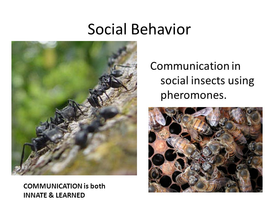 is human behavior innate We do not acquire innate behaviour through learning and practice, but are born with the behaviour pattern 'hard-wired' into our nervous system we have inherited the response in our genes from our.