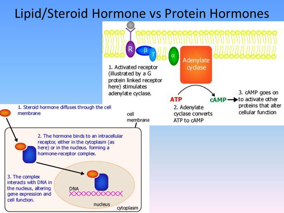 steroid receptor proteins are usually located in the