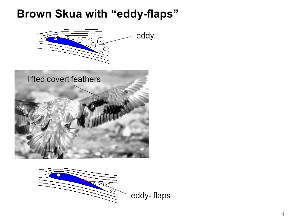Brown Skua with eddy-flaps