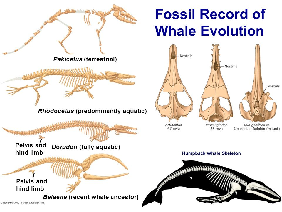 the human evolution and the fossil record