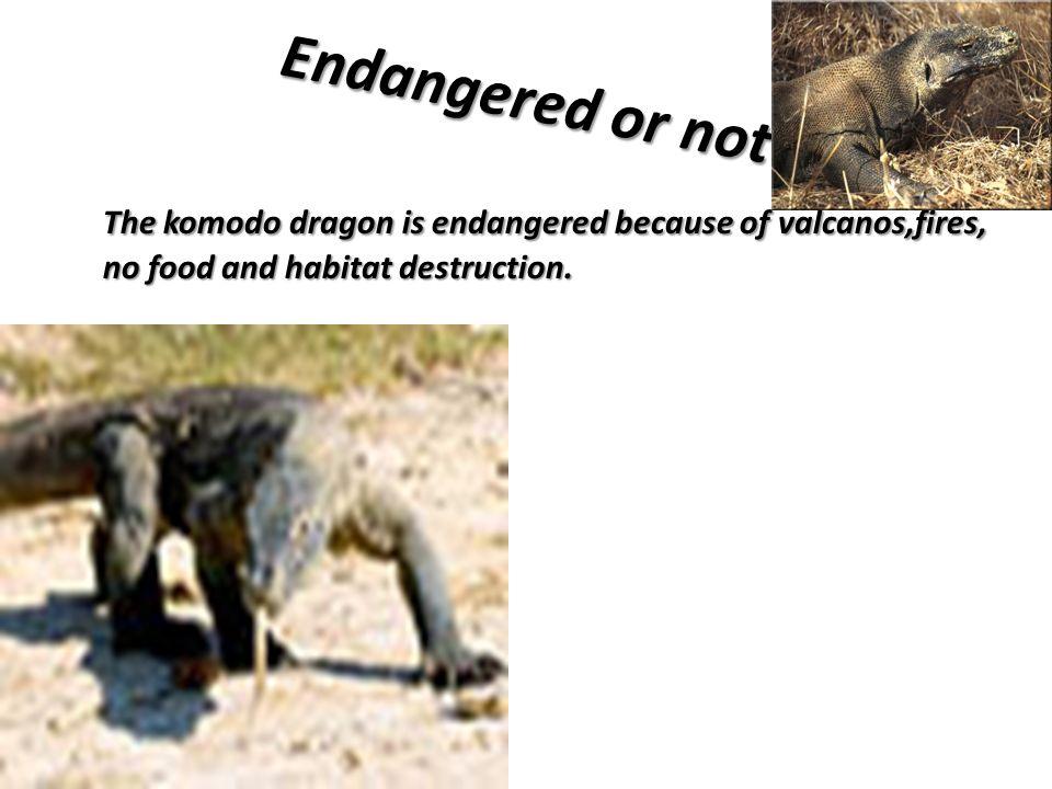 Endangered or not The komodo dragon is endangered because of valcanos,fires, no food and habitat destruction.