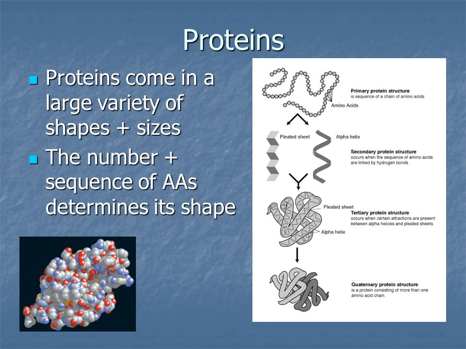 Proteins Proteins come in a large variety of shapes + sizes