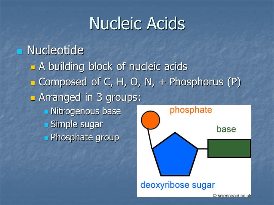 Nucleic Acids Nucleotide A building block of nucleic acids