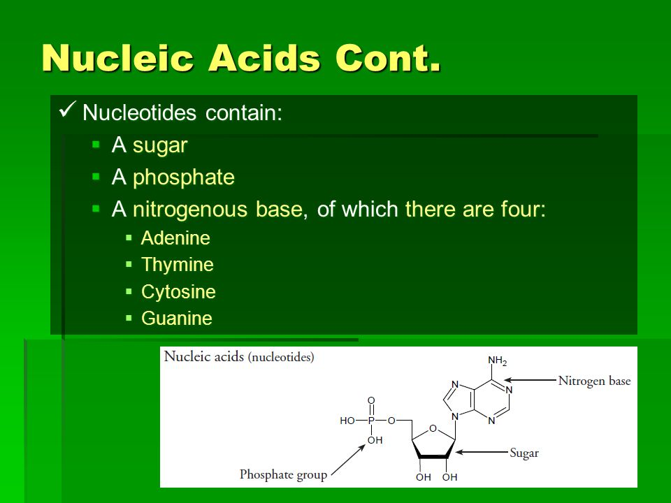 Nucleic Acids Cont. Nucleotides contain: A sugar A phosphate