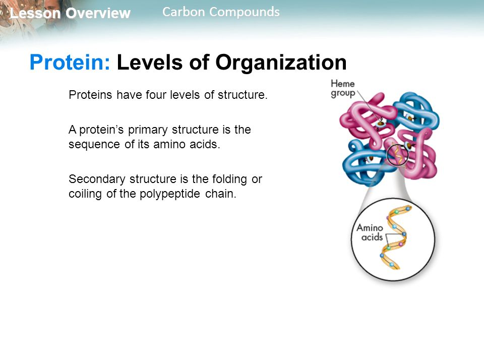 Protein: Levels of Organization