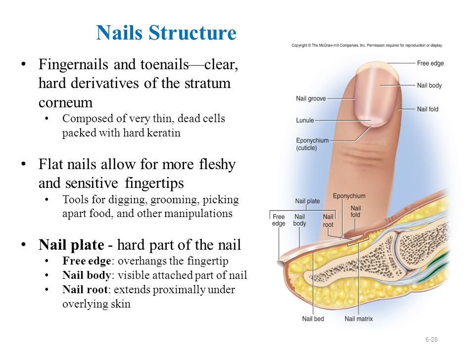 Overview Integumentary System – consists of the skin and its ...