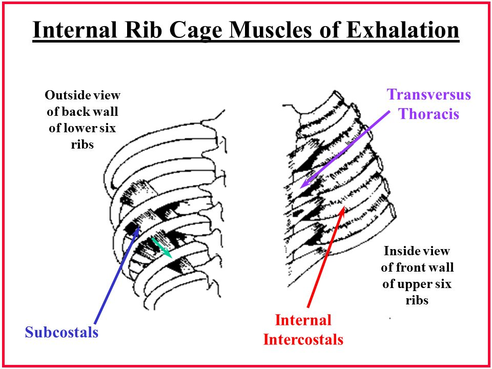 Rib cage anatomy muscles