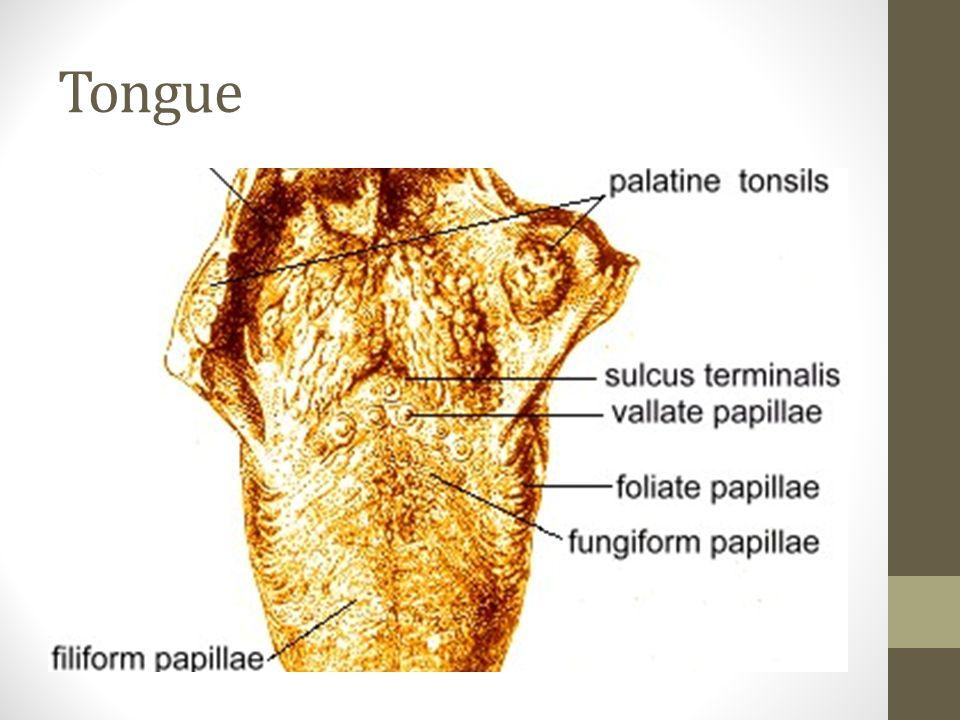 Tongue Base Anatomy