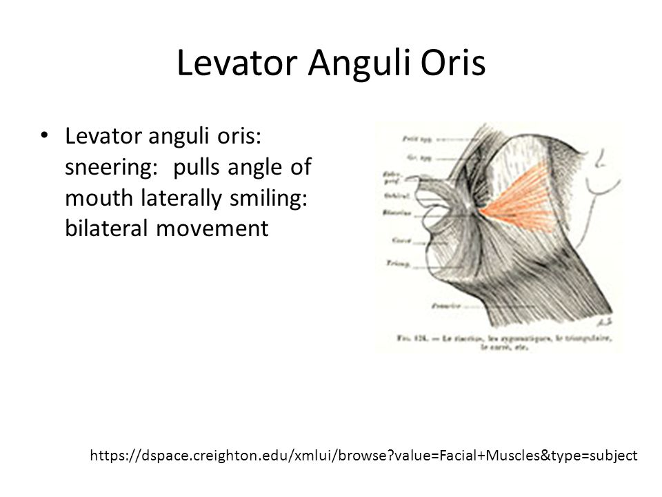 facial muscles. - ppt video online download, Human Body