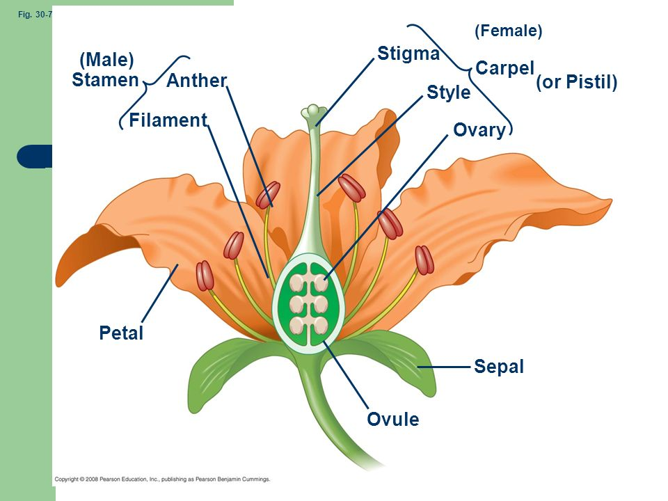 (Male) Stigma Carpel (or Pistil) Stamen Anther Style Filament Ovary