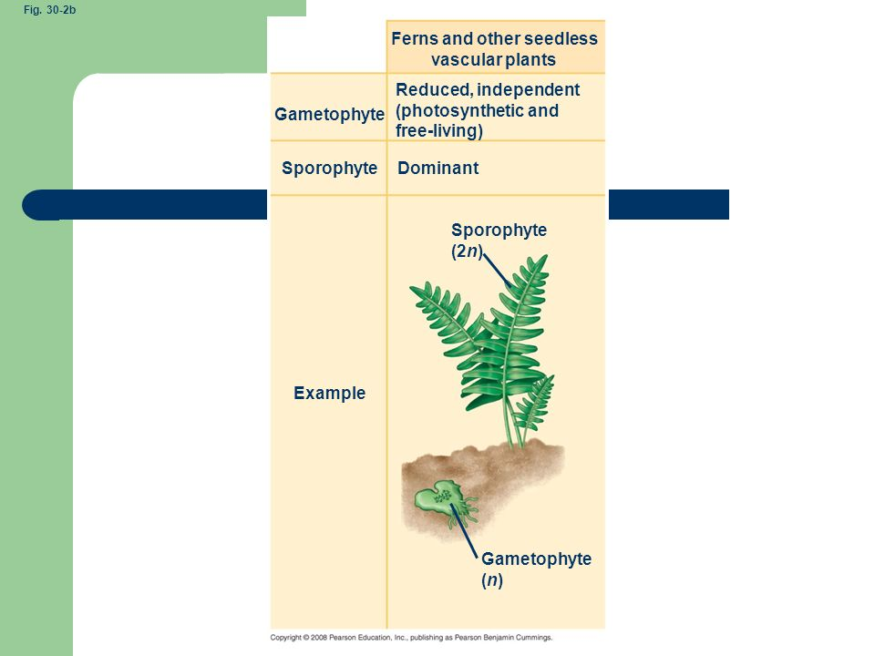 Ferns and other seedless vascular plants