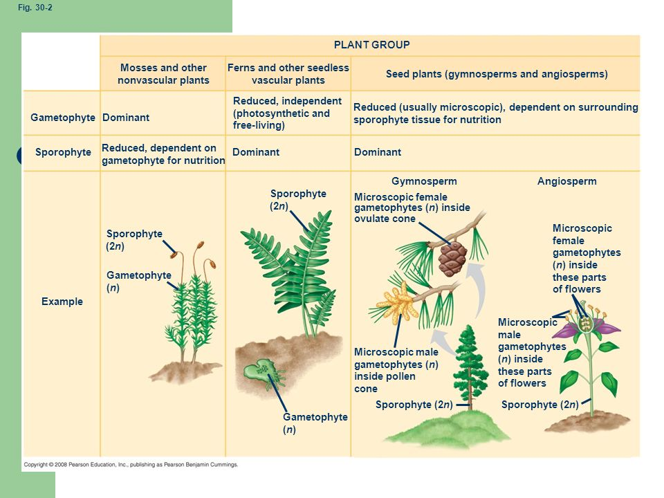Fig PLANT GROUP. Mosses and other nonvascular plants. Ferns and other seedless vascular plants.